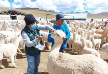Agro Rural inicia dosificación a 67.000 cabezas de ganado en zonas altas de la región Lima