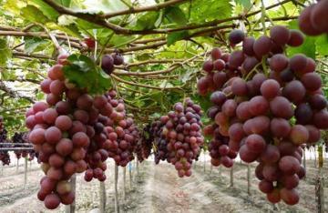 Exportaciones de uva de mesa de Ica crecerían más de 9.5% en la campaña 2019/2020