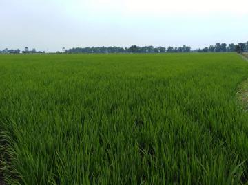 Piura sembrará más de 43 mil hectáreas de arroz en campaña grande
