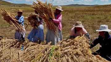 Producción nacional de granos andinos alcanzó las 127.000 toneladas en 2020