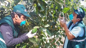 Senasa certificó 3.872 hectáreas de palta de exportación en Ica
