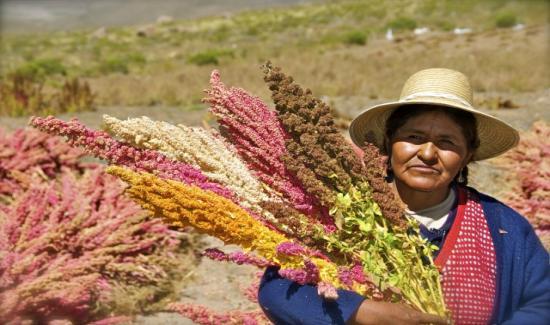 Quinua es la tercera cadena productiva más beneficiada por Agroideas