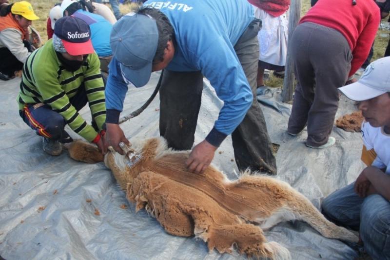 2.369 kilos de fibra se obtuvo en chaccus realizados en Ayacucho hasta agosto