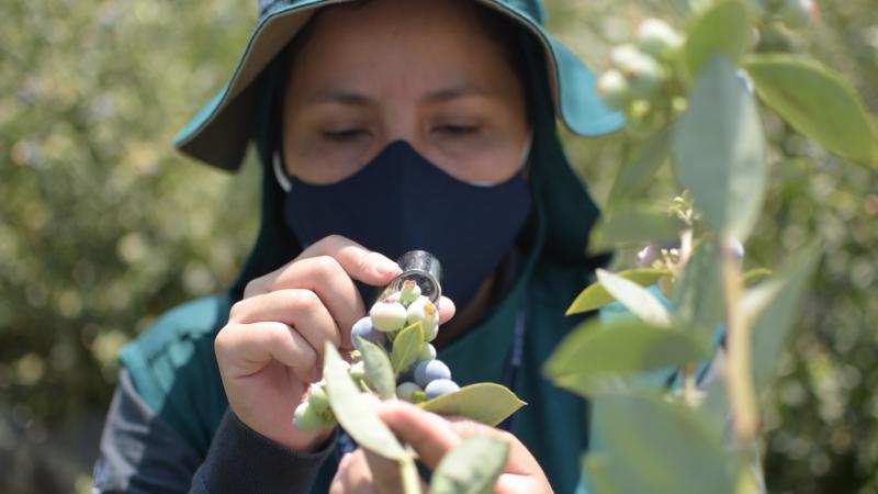 Acciones de control integrado de moscas de la fruta impulsan agroexportaciones en La Libertad