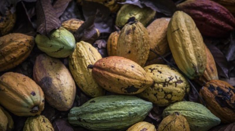 Adiós al cultivo de hoja de coca por auge del cacao en Amazonía