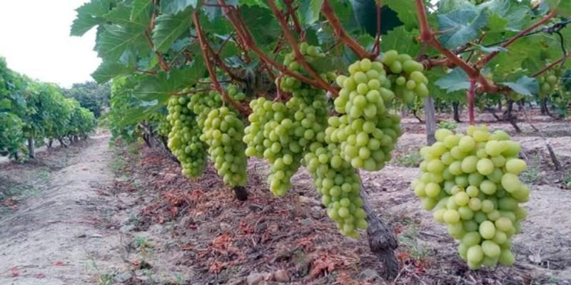 Agrícola Cerro Prieto proyecta duplicar sus exportaciones de uva de mesa en la campaña 2020/2021