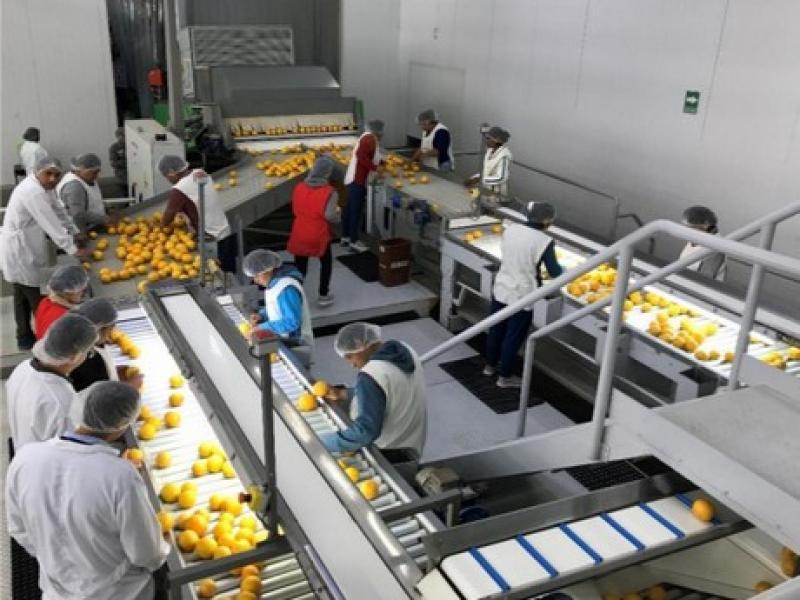 Agrícola Don Ricardo se enfoca en variedades tardías de mandarina