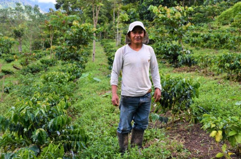 Agricultores de San Martín aumentan producción de café de 30 a 70 quintales por hectárea