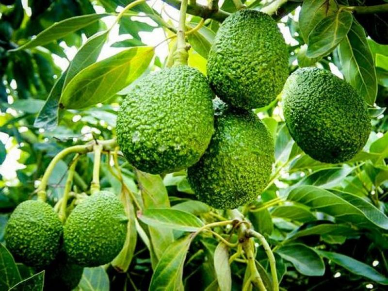 Agro Latam instalaría 1.000 hectáreas de cultivos en Olmos