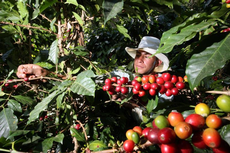 Agroideas invirtió S/ 75.7 millones en potenciar a 12 mil productores cafetaleros