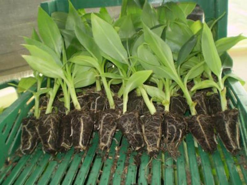 Amazonas introducirá plantones in vitro de banano de la variedad Williams Israel