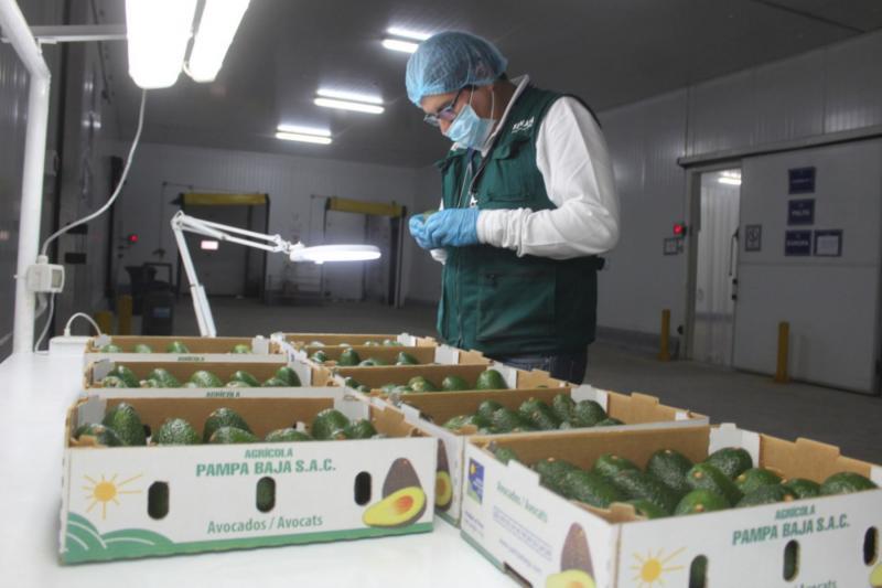 Arequipa exportó 3.600 toneladas de palta Hass pese a la emergencia sanitaria