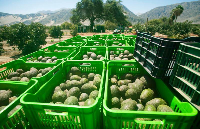 Arribo de palta peruana a Norteamérica aumentará a medida que avance la temporada