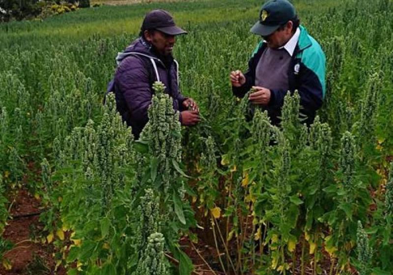 Ayacucho: proyecto multiplica rendimiento por hectárea de quinua orgánica