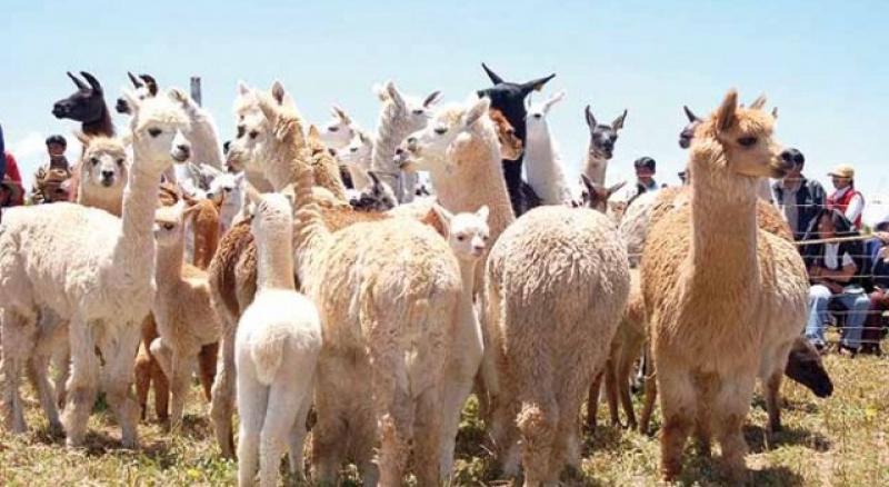 Ayacucho y Puno implementan programa para recuperación de calidad genética en alpacas
