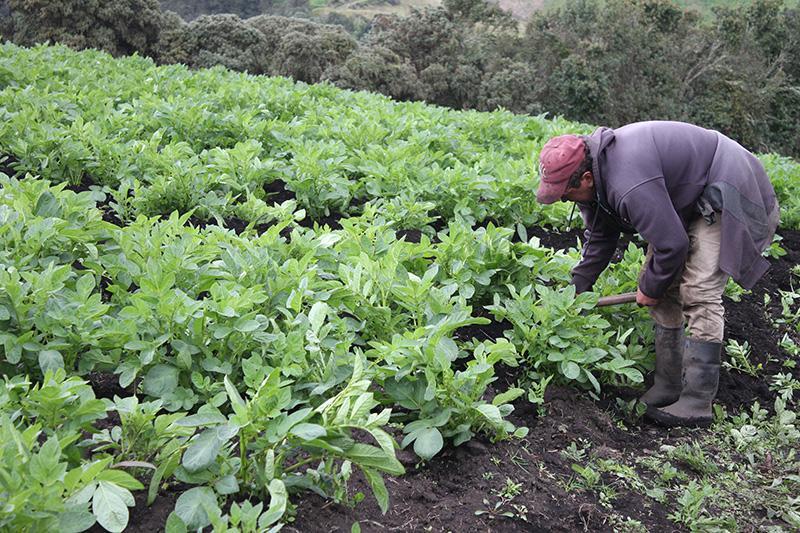 Bayer y CIP se unen por los pequeños agricultores en América Latina y el Caribe