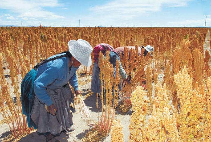 BOLIVIA: PRODUCTORES DE QUINUA PIDEN APOYO POR CAÍDA EN PRECIOS