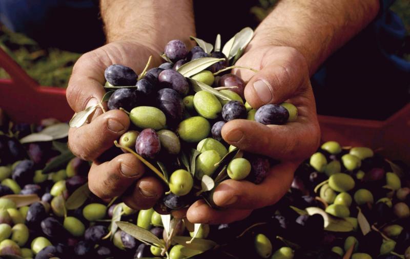 Brasil y Chile ya no demandan aceituna Criolla, principal variedad sembrada en Perú