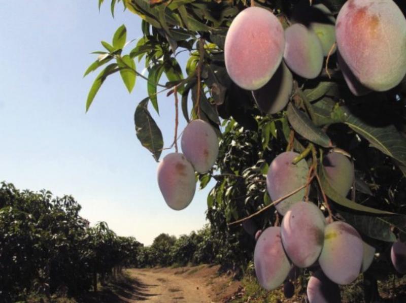 Buscan promover consumo de mango en mercado de Estados Unidos