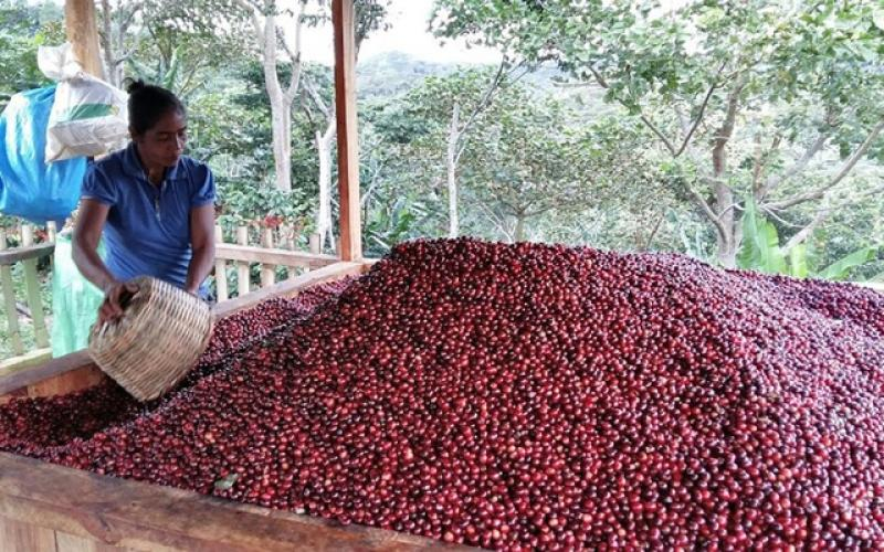 Café Circular: el proyecto que busca convertir más de 62 mil quintales de pulpa en 1.050 Tm de abono orgánico
