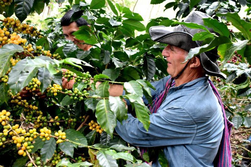 Café orgánico de Amazonas se exportará Corea del Sur