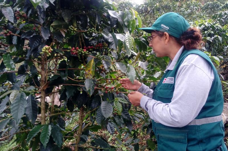 Cafetaleros capacitados por Senasa controlan plagas de importancia económica en sus campos