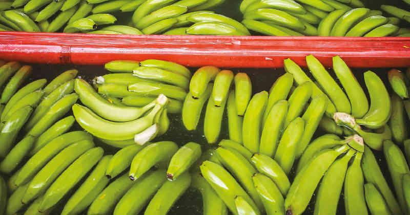 Colombia declara emergencia nacional tras confirmar presencia del hongo Fusarium R4T que puede destruir la industria bananera