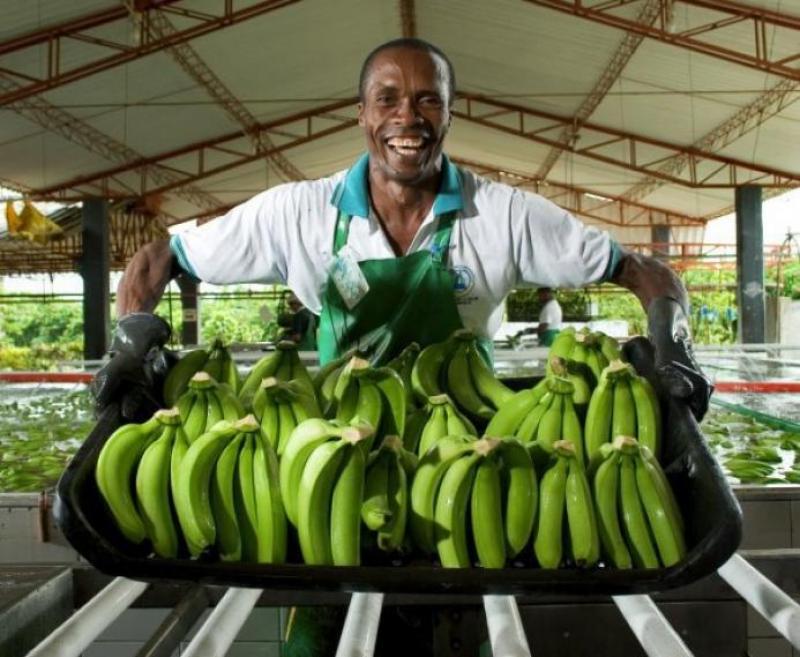 Colombia envía banano a China por primera vez