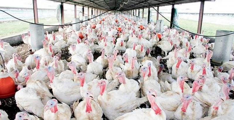 Comercializarán 2.1 millones de pavos por fiestas de fin de año