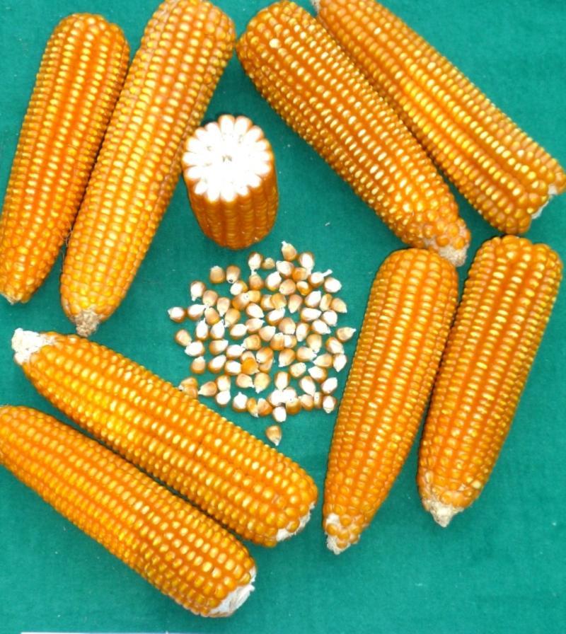 Consumo de maíz amarillo duro en nuestro país creció 36.65% en los últimos cinco años