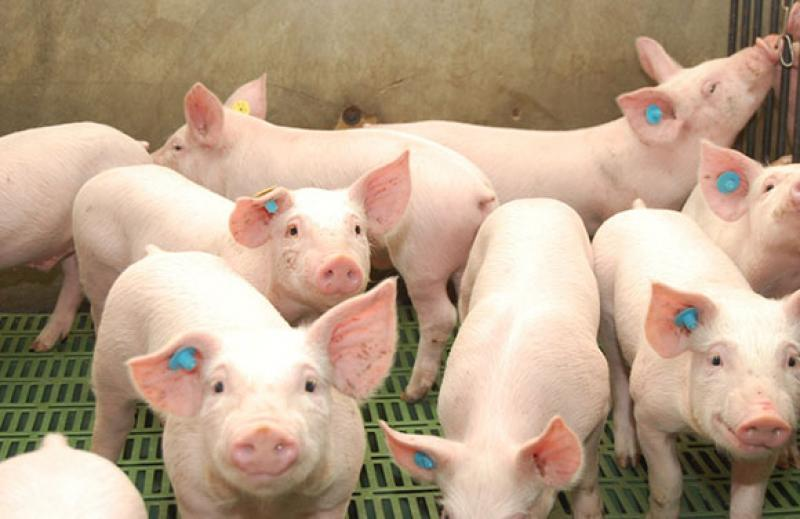 Consumo nacional de carne de cerdo se redujo entre 50% y 60% durante el periodo de cuarentena