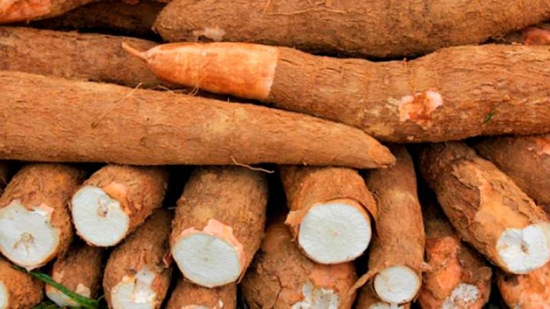 Crecen las exportaciones de yuca