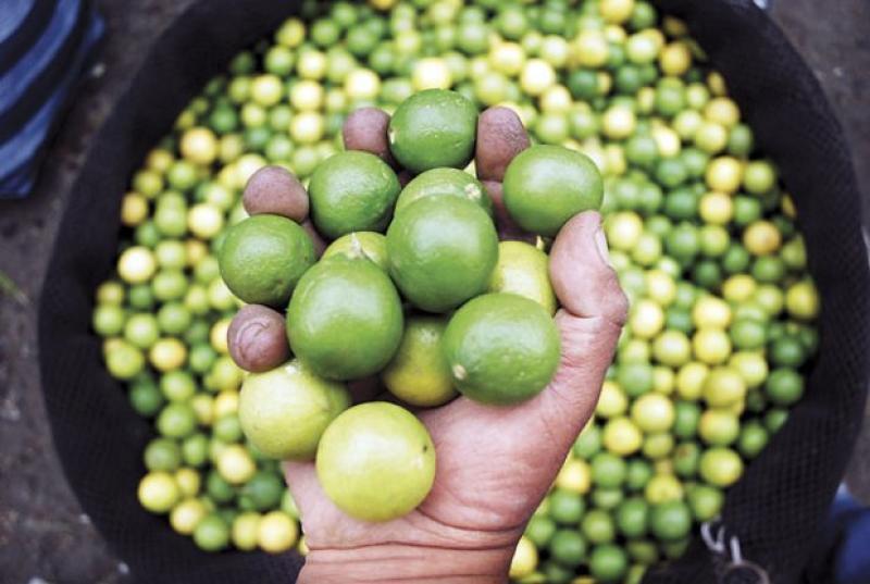 Cultivos de limón en riesgo por sequía en el norte durante su periodo clave