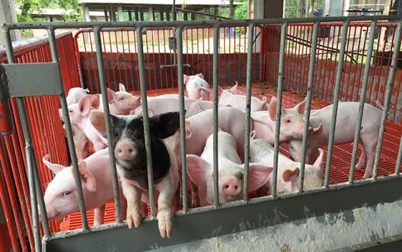 Cusco: productores de La Convención mejoran calidad genética de cerdos con proyecto de innovación
