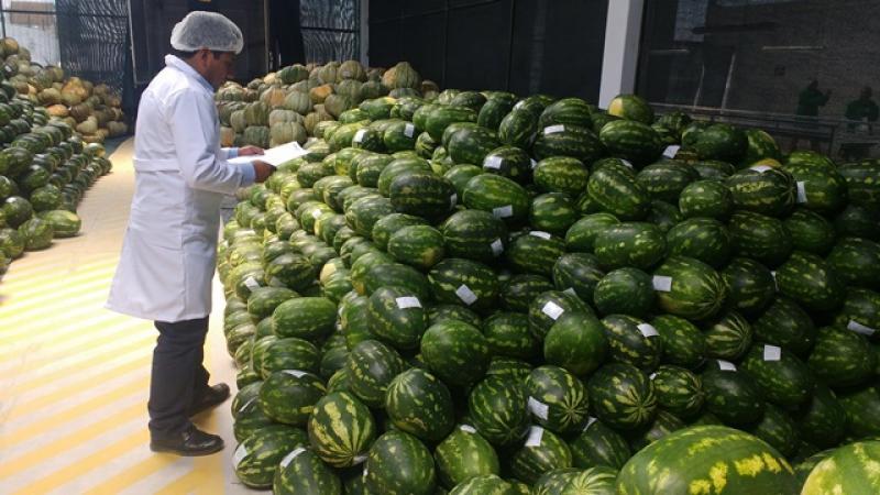 Decae la exportación de sandías frescas