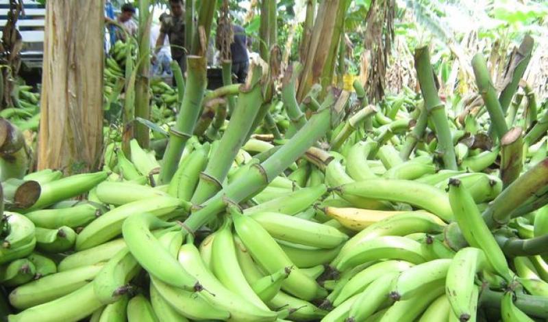 Declaran alerta fitosanitaria en todo el territorio nacional por plaga del hongo del banano