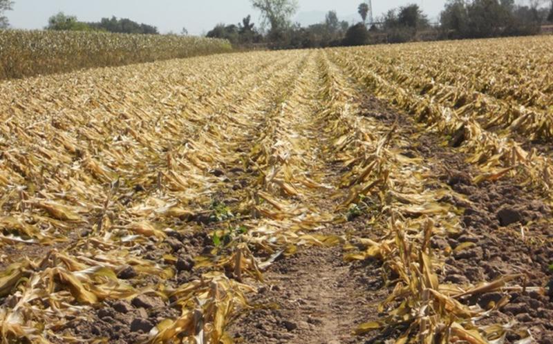 Déficit de lluvias y altas temperaturas afectarían cultivos en San Martín