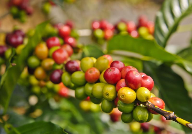 Diez países de América contarán con sistema integrado de alerta temprana para combatir la roya en el café