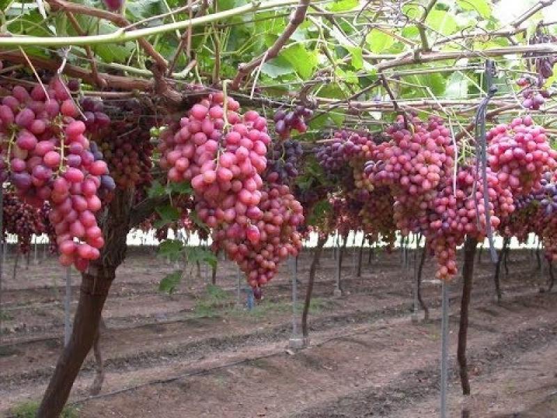 Ecological Corporation busca despachar uva de mesa a China y Corea