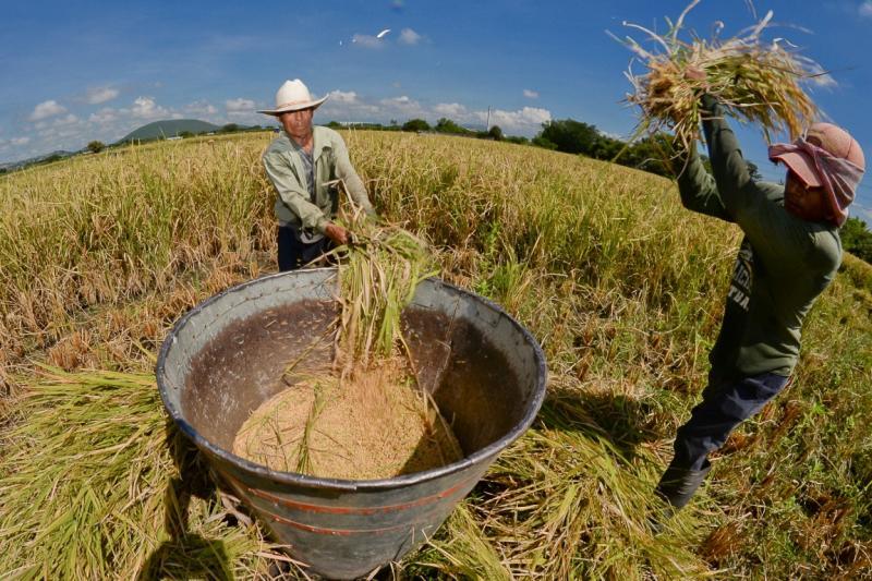 El 70% del arroz consumido en cuarentena fue importado