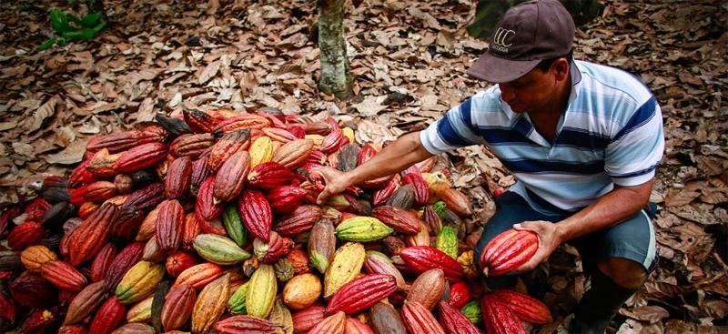 El 93% de la producción peruana de cacao se concentra en 7 regiones