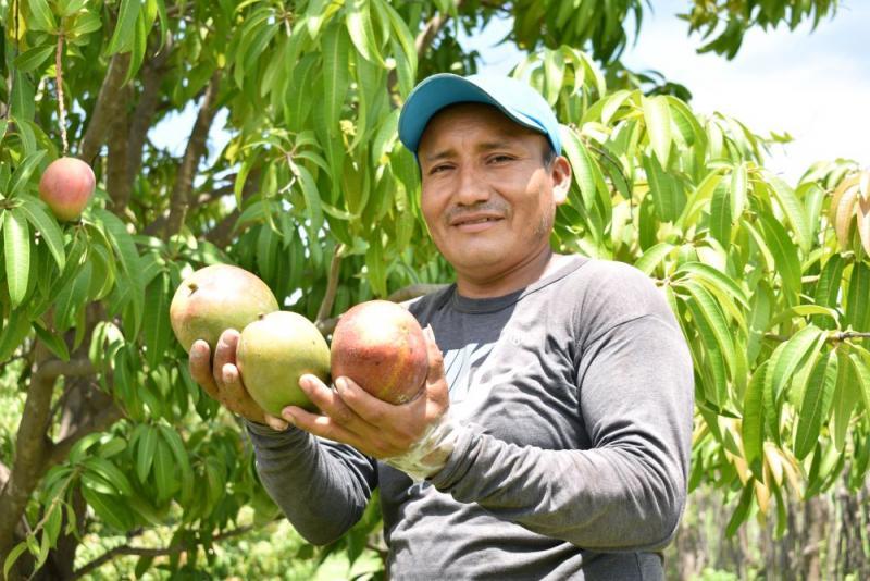 Empezó certificación de lugares de producción de mango en Piura