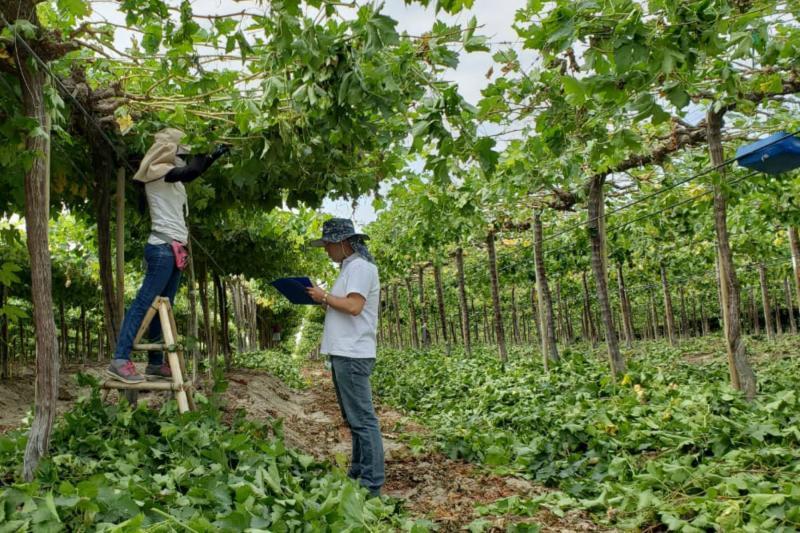 Empresas agroindustriales de Piura formalizan a 10.254 trabajadores