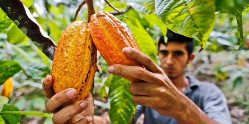 En cinco años Perú contaría con 200 mil hectáreas de cacao