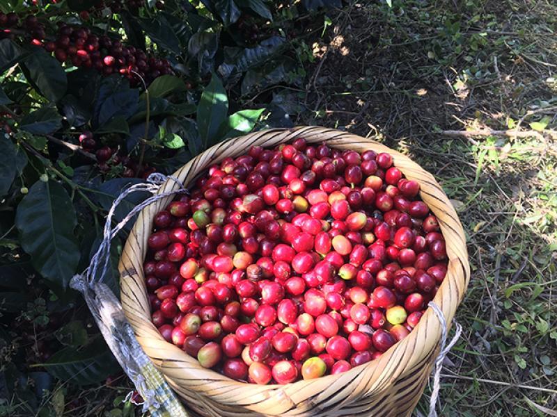Ensayos: productividad del café puede elevarse con un programa de nutrición balanceada
