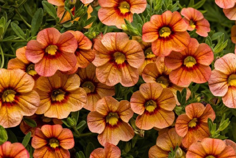 Establecen requisitos fitosanitarios para la importación de semillas de calibrachoa de origen y procedencia de EE.UU.