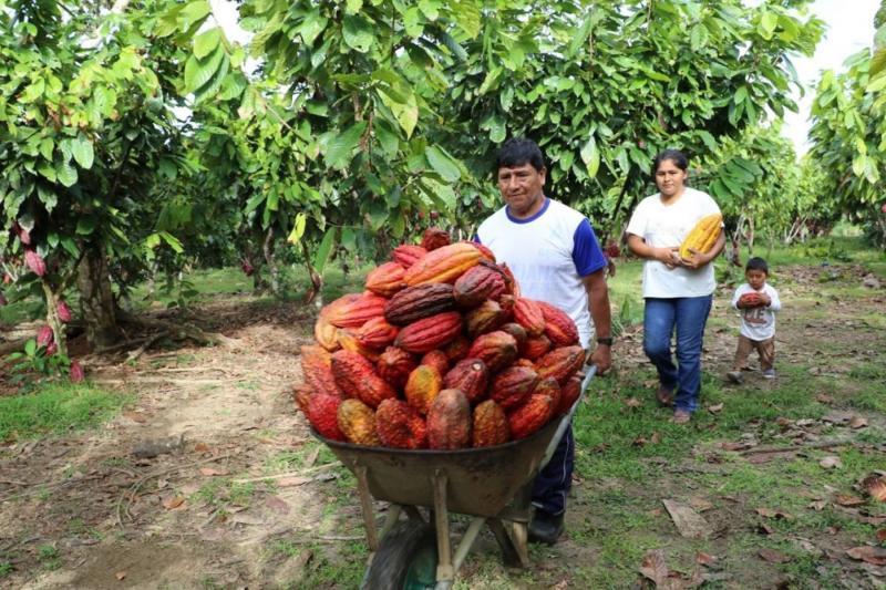 Existen zonas viables en nuestro país para cultivo de cacao por bajos niveles de cadmio