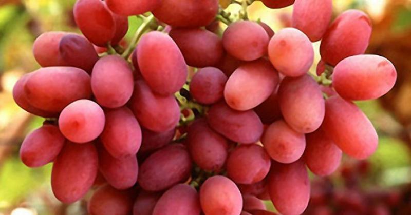 Exportaciones chilenas de uva caen 11% en volumen y valor en la campaña 2020/2021