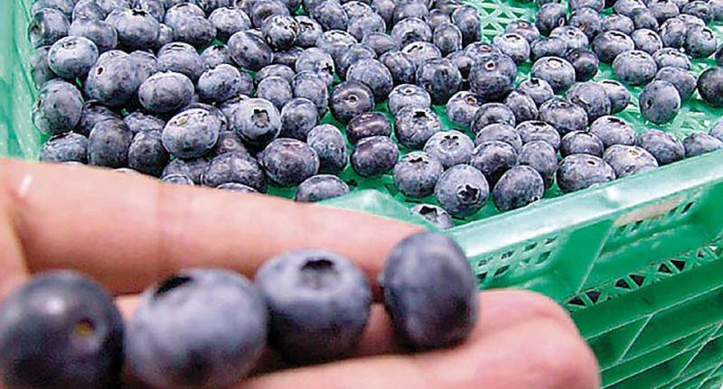 Exportaciones de arándanos peruanos a China alcanzan periodo de suministro estable
