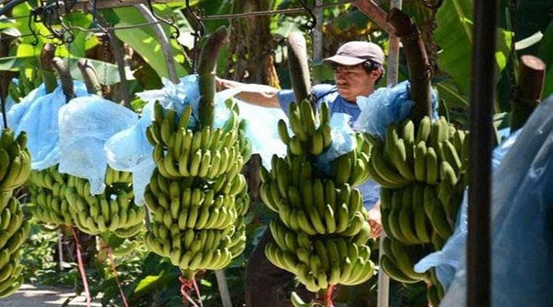 Exportaciones de banano disminuyeron en valor 10.43% de enero a noviembre el presente año